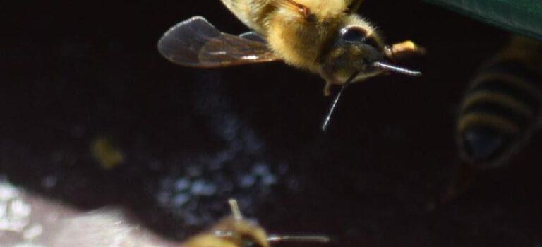 Bei uns tanzen die Bienen